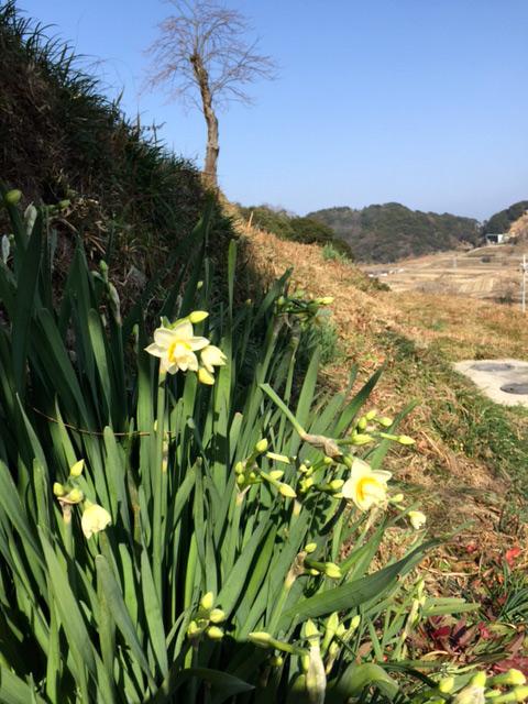 淡の近くでは水仙の花が咲きはじめました。