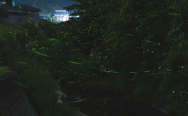 田尻川や店の周りにゲンジ蛍が飛び交います